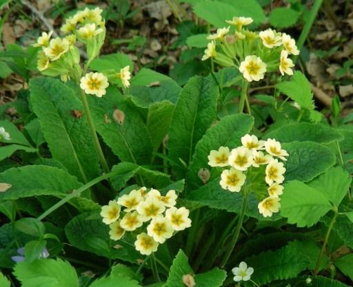 garden hybrid primrose