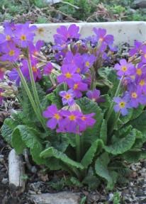 Primula elatior ssp. meyeri